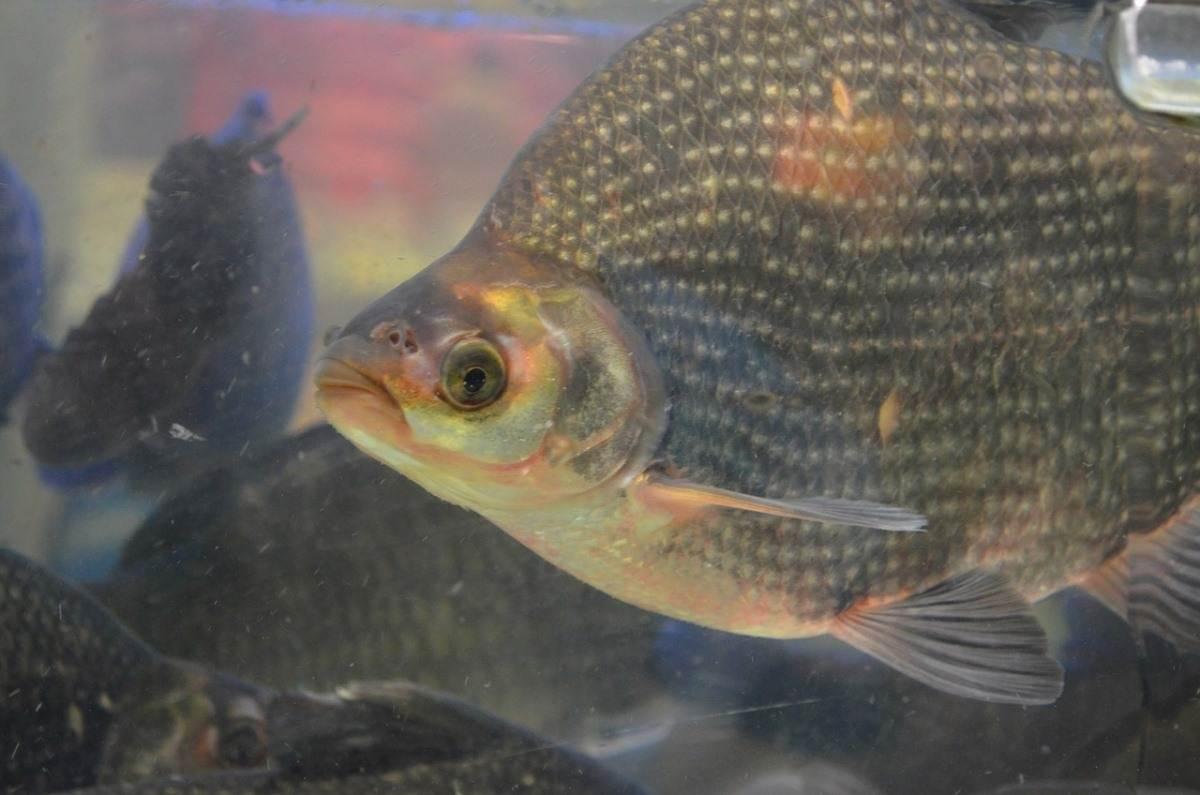 Guide to Tilapia Fish Farming In Tanks