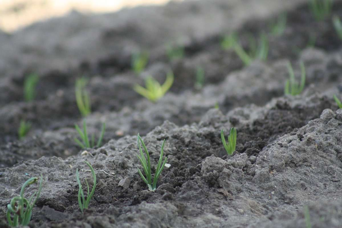 Spring Onion Plants