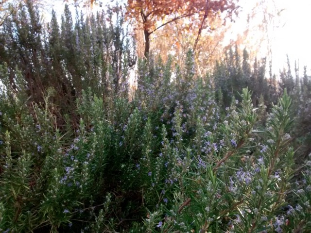 fiori rosmarino invernale