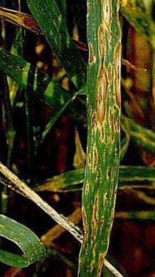Wheat Disease
