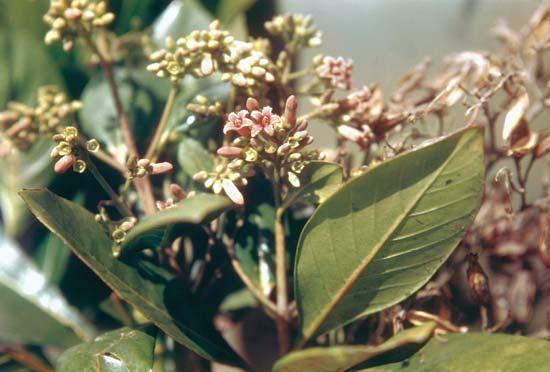 Cinchona cultivation