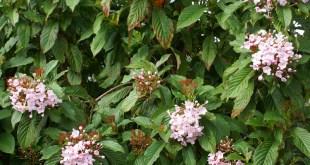 ipecac cultivation