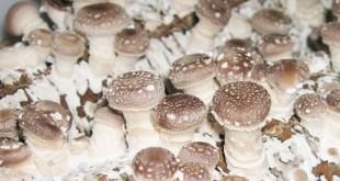 white bottom mushroom