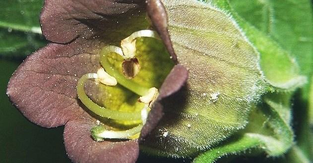 Belladonna Cultivation