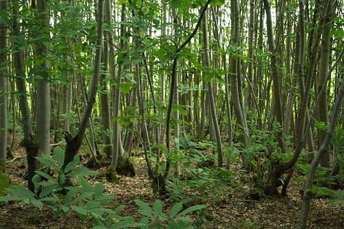 Coppice System