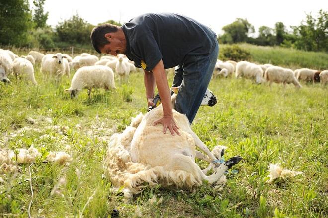 """Résultat de recherche d'images pour """"tonte moutons"""""""