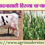 दूध उत्पादनासाठी हिरव्या चाऱ्याची गरज