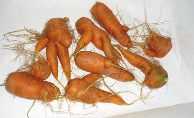 carote deformate