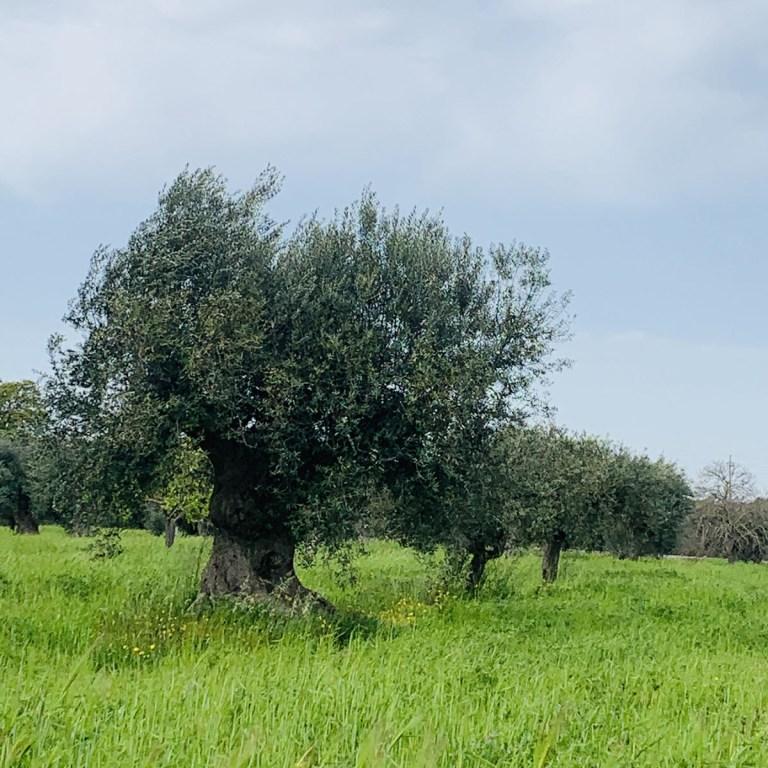 Read more about the article Ulivi di Puglia e xylella