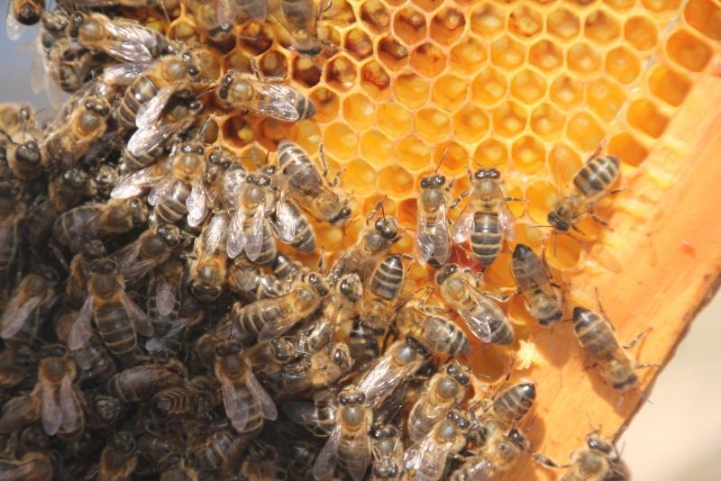 Resultado de imagem para EFSA e cientistas desenvolvem modelo para proteção das abelhas melíferas a nível europeu