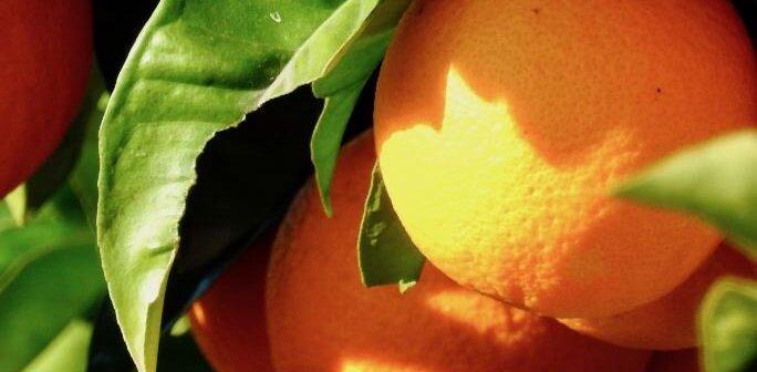 Conheça o vírus da tristeza dos citrinos