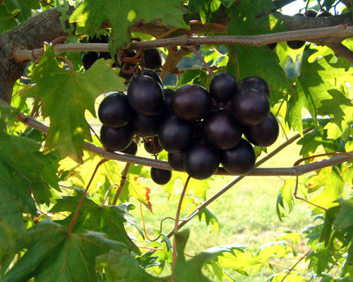 Vitis Southern Home Muscadine Grape From Agristarts