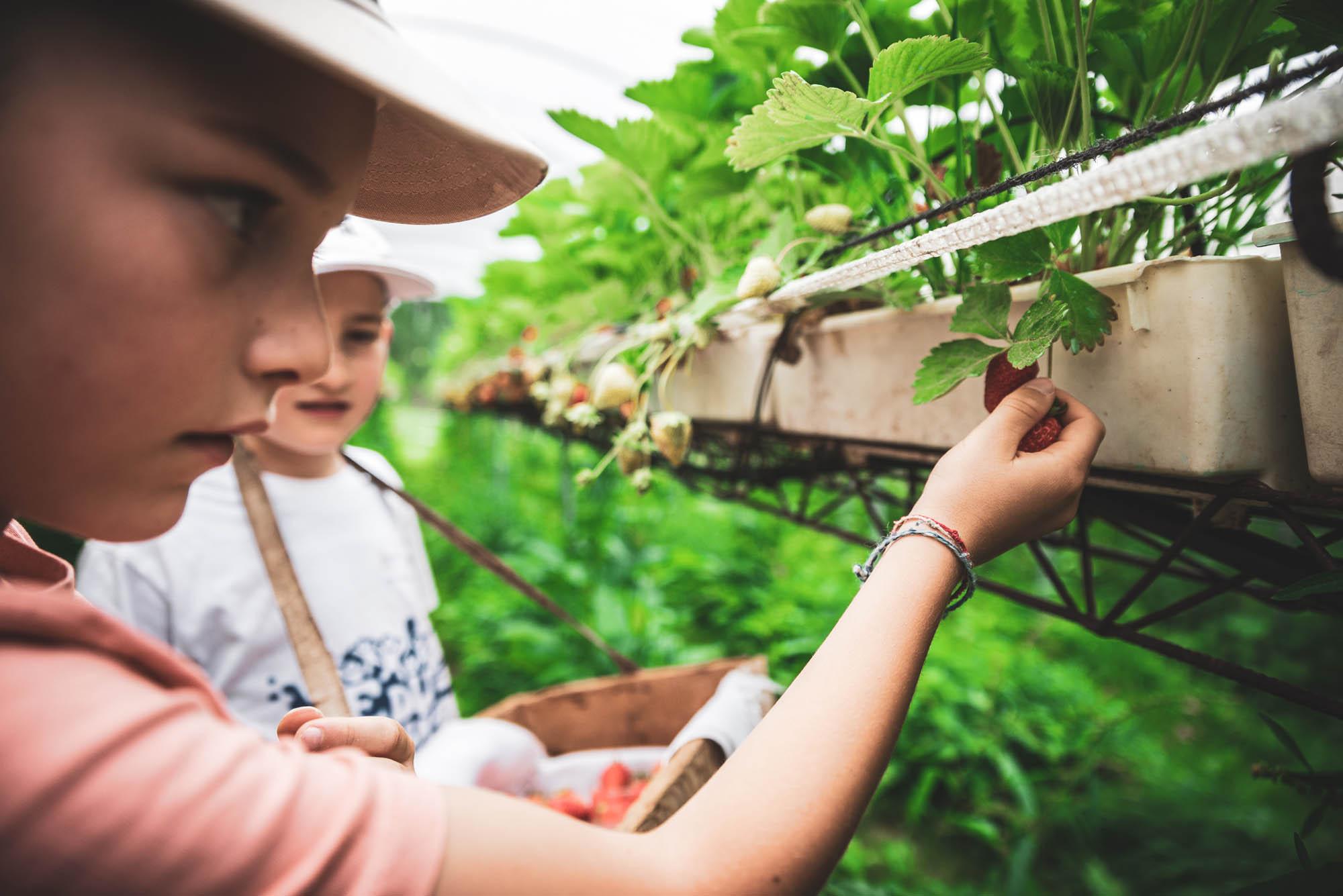 L'accurata raccolta dei piccoli frutti nelle serre dell'Agritur Dalaip dei Pape