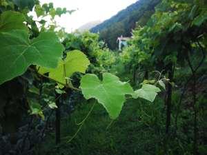 Agricoltura - Scorcio Vigna...