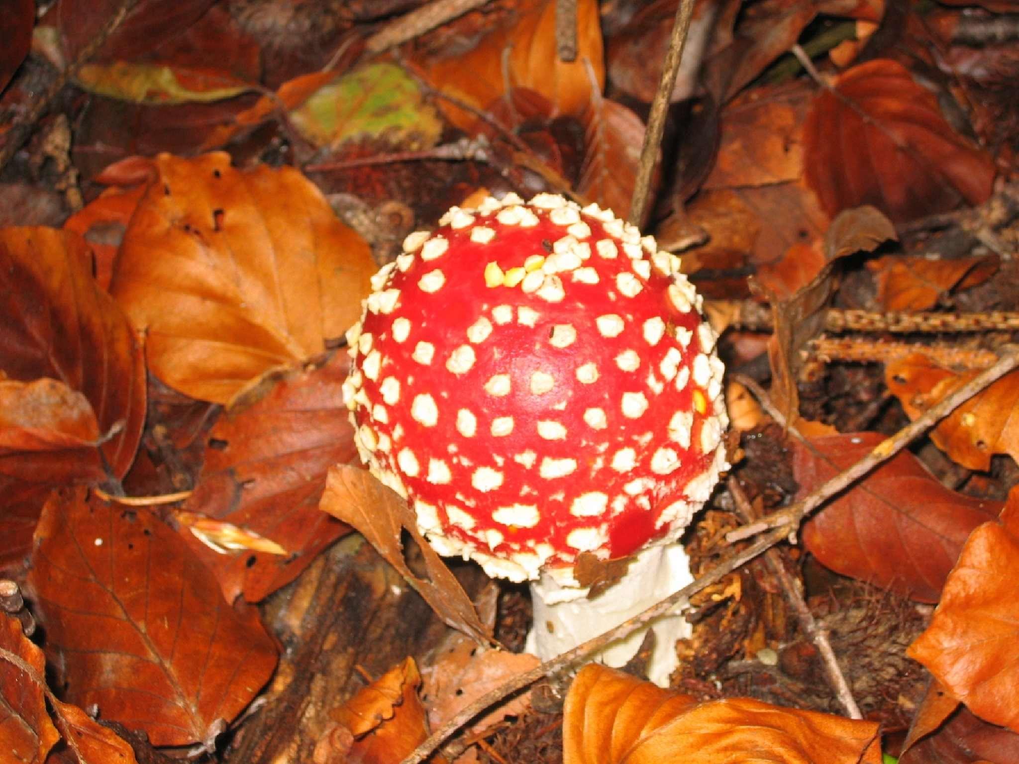 Natura Circostante - Amanita Muscaria