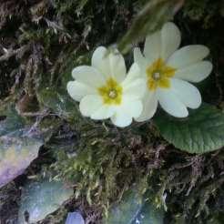 Natura-Circostante-Primule-Invernali