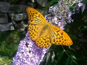 Al-Marnich - Farfalla a Pois