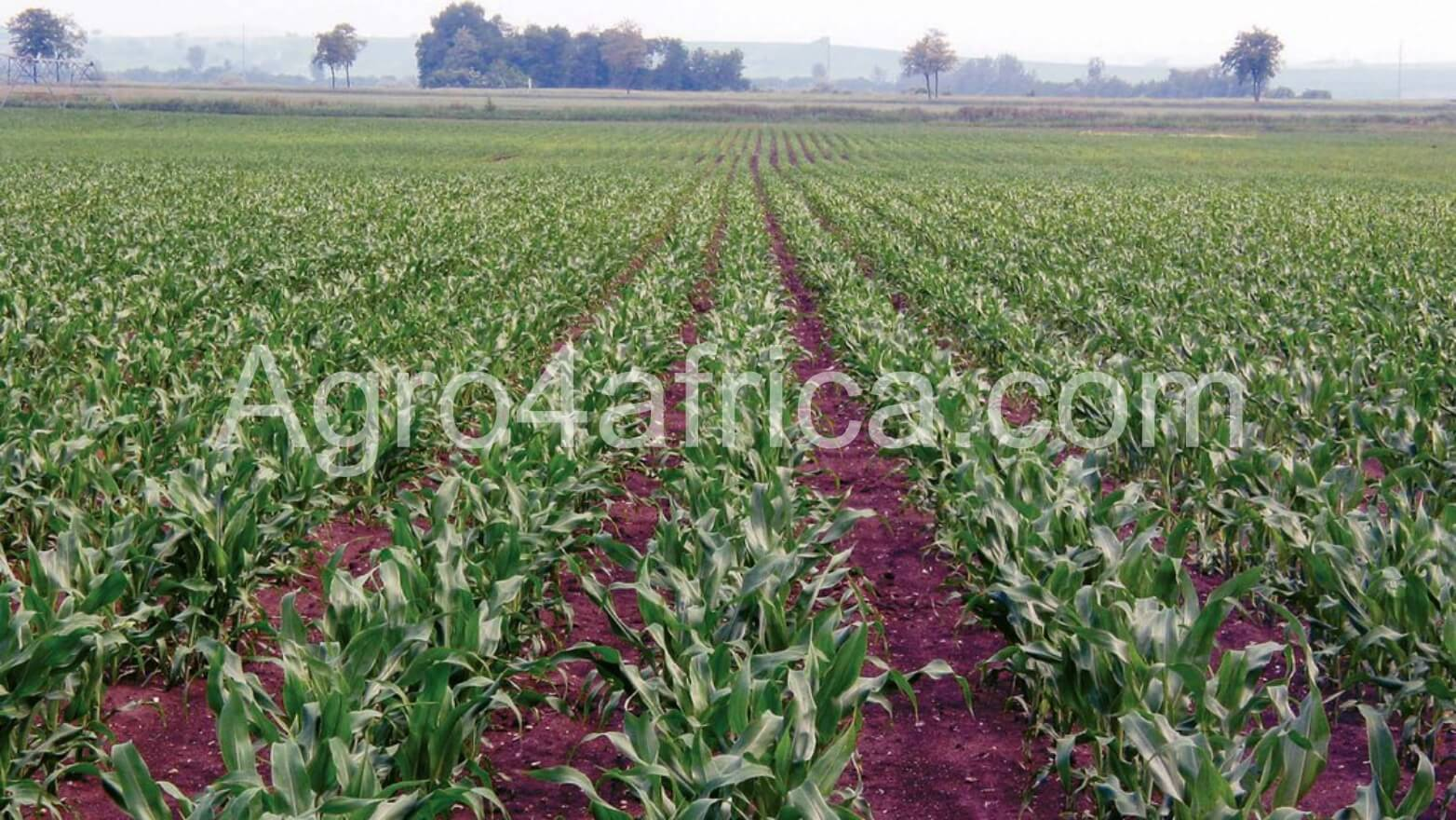 Weed Control Measures in Maize Farming – Agro 4 Africa