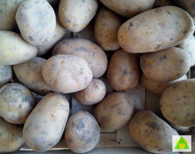 Kvalitet povrća - odabir kvalitetnog krompira