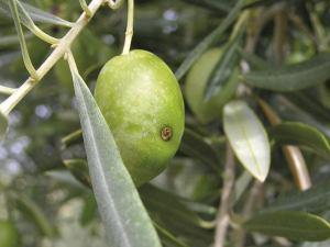 Control de plagas en Olivar Ecológico: Mosca del olivo, Prays del olivo...
