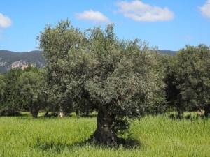 Enfermedades y plagas en Olivo: Remedios ecológicos
