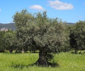 Control de plagas en olivar ecológico