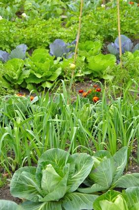 Cultivos de hoja en el huerto
