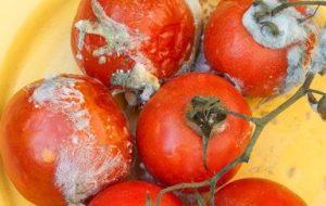 Hongos del Huerto: Tratamientos Ecológicos contra hongos del tomate