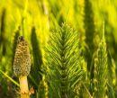 Cola de Caballo en el Huerto: ¿Dónde crece la cola de caballo?