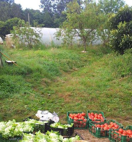 Cosecha de tomates y lechugas cerca de uno de los invernaderos de Apadrina un tomate