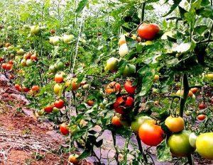 Cultivar tomates paso a paso: Cómo plantar tomates en el huerto