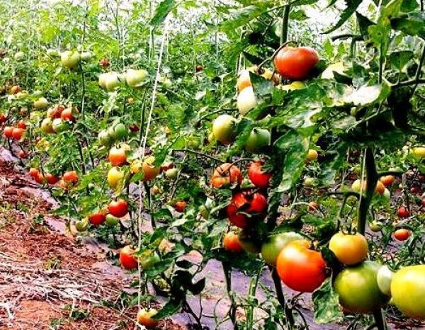sembrar tomates en el huerto