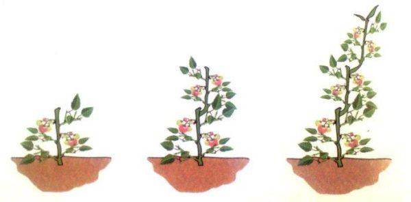 cultivar tomates ecológicos en el huerto en casa