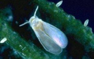 Mosca Blanca en las plantas: Cómo eliminar con remedios caseros