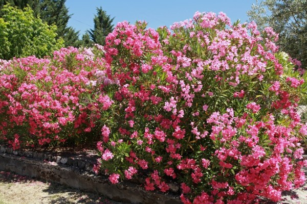 Flores útiles en el huerto: la adelfa