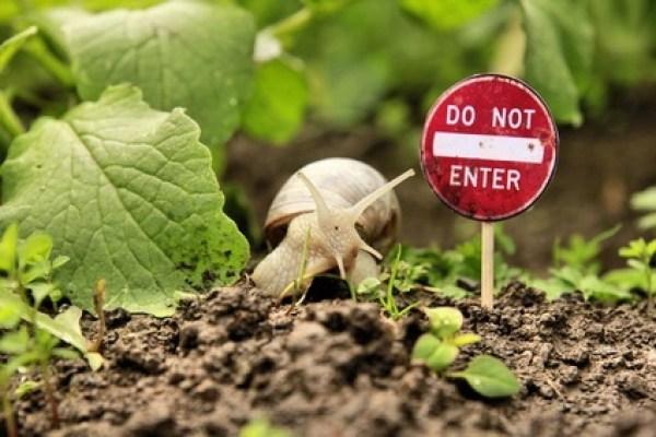 Los caracoles y babosas son una de las plagas más comunes del huerto.