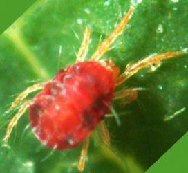 Araña roja o arañuela roja en las plantas: Cómo eliminar con remedios caseros