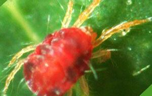 Araña roja, arañuela roja: cómo eliminar con remedios ecológicos