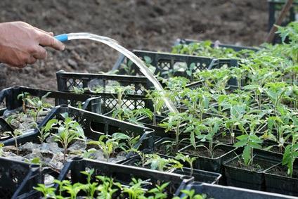 Regando semilleros de tomate