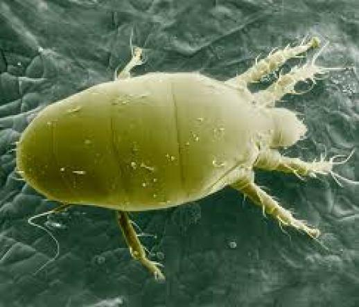 Bichos blancos: Araña blanca visto con microscopio electronico.