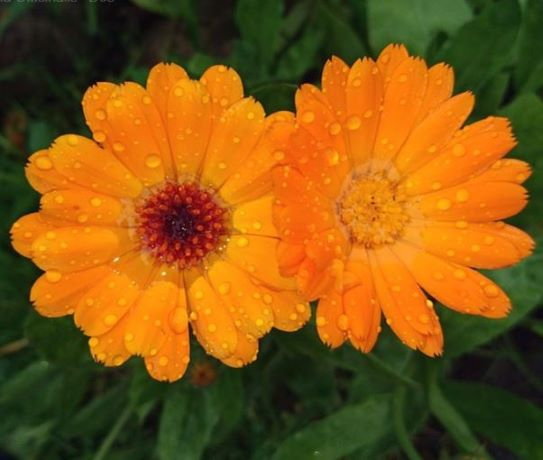 flores comestibles y útiles en el huerto