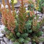 10 PLANTAS SILVESTRES QUE PODEMOS COMER (I)