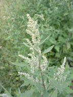 6 Malas hierbas en el huerto: Planta de Cenizo, Juncia...