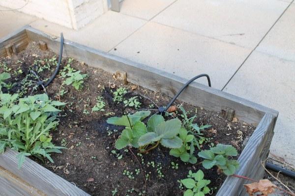 Regadores en jardinera de huerto en terraza