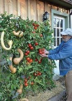 Huerto vertical con calabazas y tomates