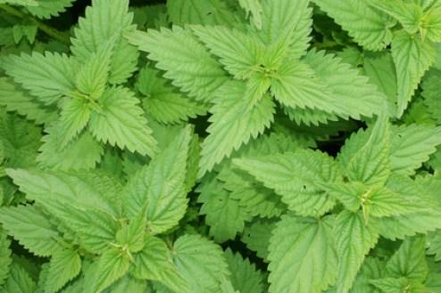 Ortiga planta medicinal