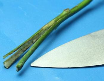 Corte longitudinal del tallo epara hacer rosas arcoiris