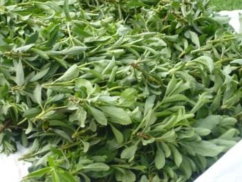 Cosecha de hojas de Stevia