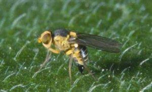 Liriomyza: Todo lo que debes saber sobre estos minadores del tomate