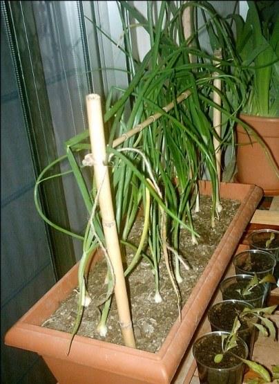 Aquí vemos cómo se disponen las cebollas en la jardinera. Fuente: http://floppysoftware.blogspot.com